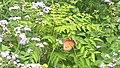 Plain tiger butterfly-Asolla bhatti wildlife sanctuary.jpg