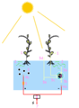 Plant Microbial Fuel Cell.png