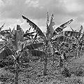 Plantage met bananenbomen, Bestanddeelnr 252-2604.jpg