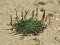 Plantago coronopus 20150506 1.JPG