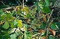 Plantain Squirrel (Callosciurus notatus) (13959662748).jpg