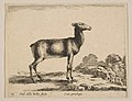 Plate 15- doe, from 'Various animals' (Diversi animali) MET DP817866.jpg
