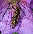 Platycheirus cf. peltatus (female) - Flickr - S. Rae.jpg