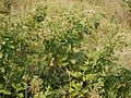 Pluchea ovalis (5354080767).jpg