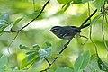 Plumbeous Warbler (Dendroica plumbea).jpg