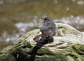 Plumbeous Water Redstart (Female) I IMG 6422.jpg