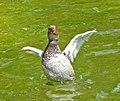 Pochard (Aythya ferina) - geograph.org.uk - 1408295.jpg