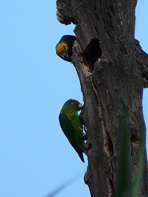 Yellow-fronted parrot - Adult (above) and juvenile (below) on an island in Lake Tana, Ethiopia