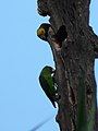 Poicephalus flavifrons -Ethiopia-6.jpg