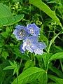 Polemonium caeruleum var. nipponicum 01.jpg