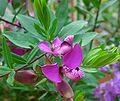 Polygala myrtifolia.jpg