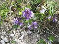 Polygala vulgaris01.jpg