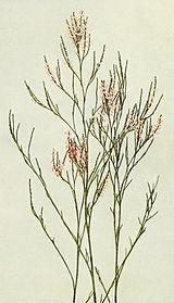 Polygonella articulata WFNY-049A.jpg