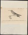 Polytmus serrirostris - 1700-1880 - Print - Iconographia Zoologica - Special Collections University of Amsterdam - UBA01 IZ19100077.tif