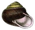 Pommerhelix monacha shell.png