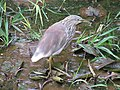 Pond Heron in Botanical Garden at Tamilnadu.jpg