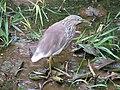 Pond Heron in Botanical Garden at Tamilnadu.jpg