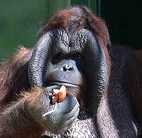 """Male Bornean Orangutan (""""Ňuňák"""") in Zoo Ústí n..."""