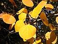 Populus tremuloides 8163.jpg