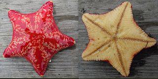 Poraniidae Family of starfishes