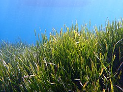 Posidonia oceanica (L).jpg