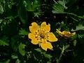 Potentilla flabellifolia 21658.JPG