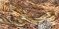Prairie Kingsnake (Lampropeltis calligaster) photographed in Tyler Co., Texas. W. L. Farr.jpg