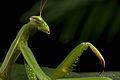 Praying Mantis Mating European-30.jpg