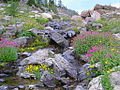 Pretty flowers in Jewel Basin (7217860416).jpg