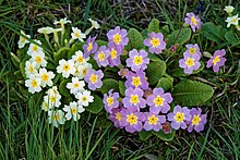 White and mauve primroses