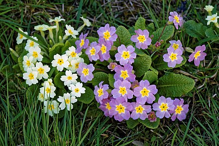 White and mauve primroses Primrose primula cultivars in Great Canfield churchyard, Essex, England 01.jpg