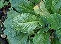 Primula farinosa kz03.jpg