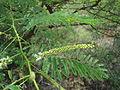Prosopis juliflora at kambalakonda 01.JPG