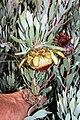 Protea pendula tonyrebelo inat10874494c.jpg