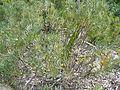 Protea scolymocephala.JPG