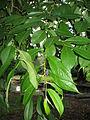 PrunusSubhirtella.jpg