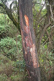 Prunus africana with stripped bark.