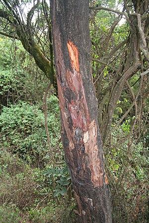 Prunus africana - P. africana with stripped bark