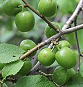 Prunus brigantina img-000182269O.jpg