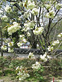 Prunus lannesiana Wils cv Grandiflora02.jpg