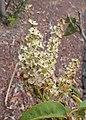 Prunus lusitanica kz04.jpg