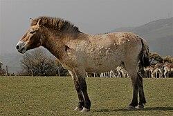 Przsevalszkij-ló