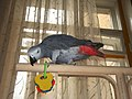 Psittacus erithacus erithacus -pet on perch-8a.jpg