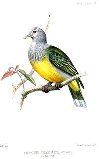 PtilonopusChrysogasterWolf