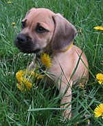 Puggle puppy (cropped).jpg