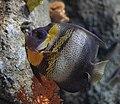 Pugnacious Fish (26390353151).jpg