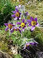 Pulsatilla-uncertain-0332.JPG