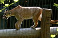 Puma at the memphis zoo.JPG