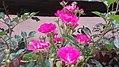 Purple rose white.jpg