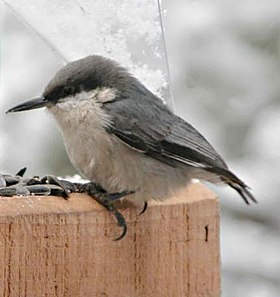 Pygmy Nuthatch (Sitta pygmaea) at a feeder.jpg